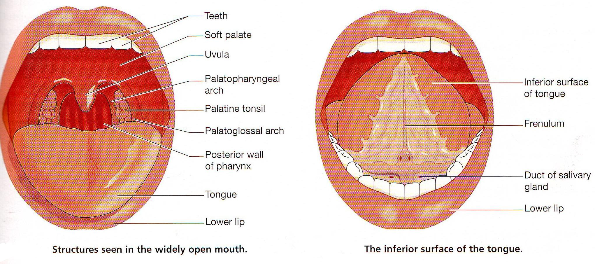 The Tongue and mouth