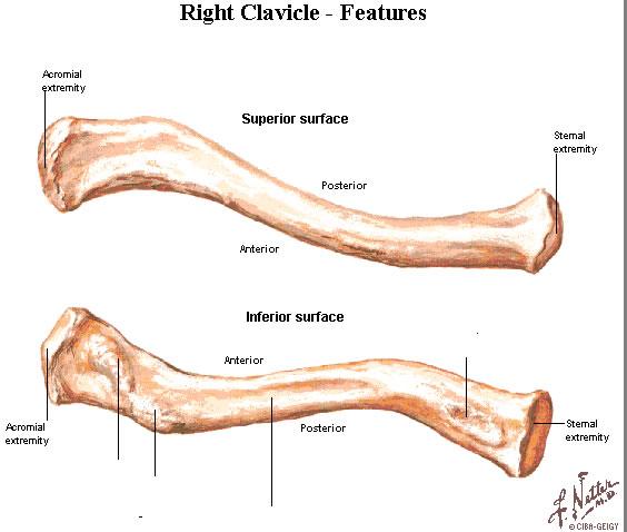 skeletal system, human bones, Skeleton